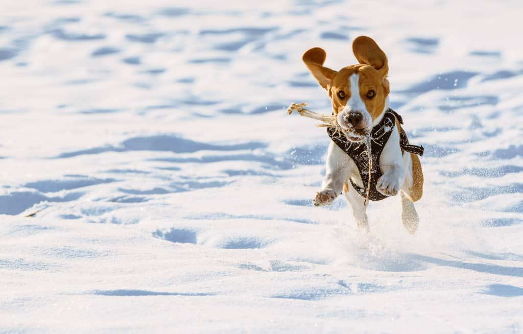 Beagle Running With Harness