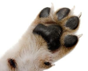 Dog Paw Anatomy Featured