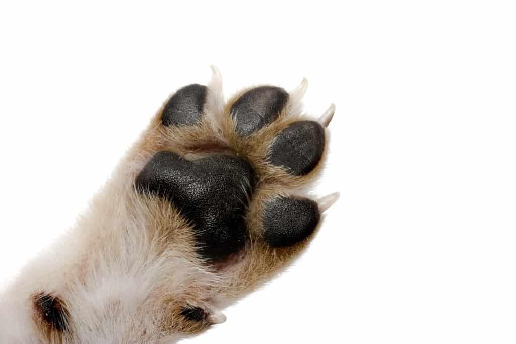 Dog Paw Anatomy Featured