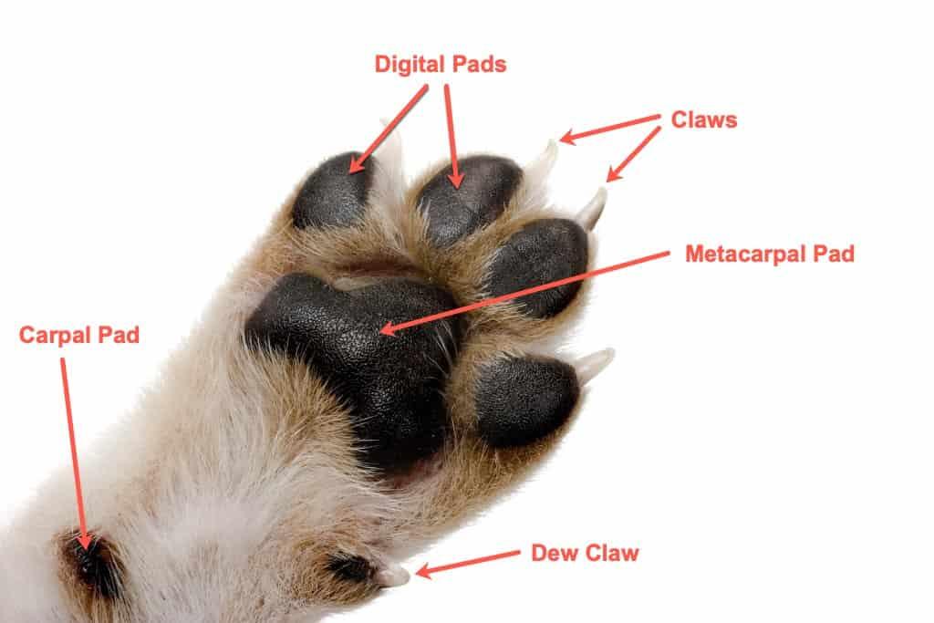 Dog Paw Anatomy
