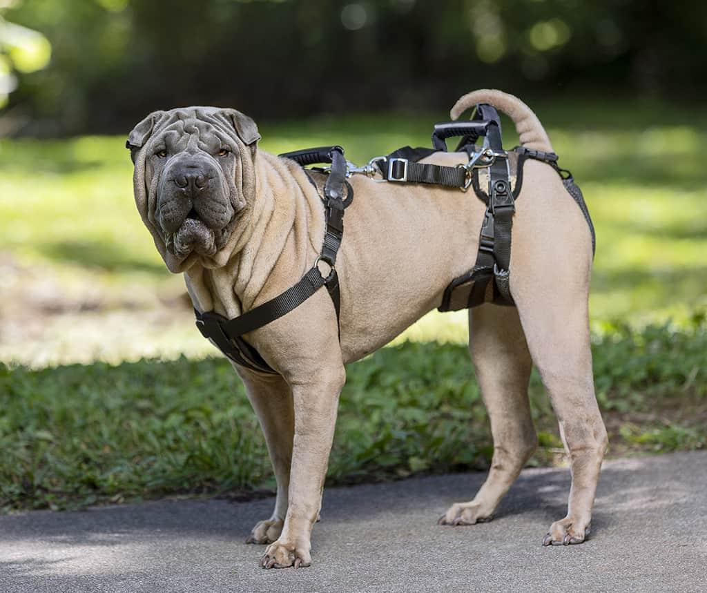 Dog on a Lifting Harness