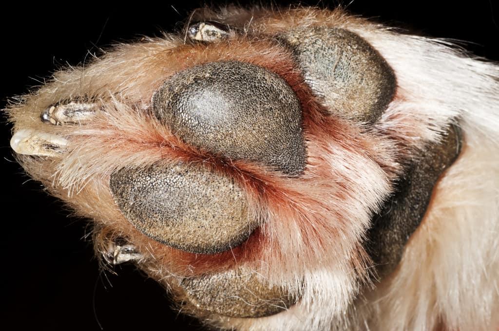 Dry Paw Pad