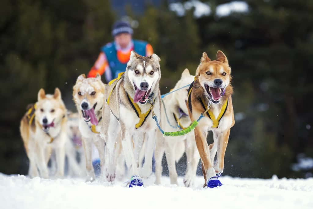 Sled Dog Race on Snow