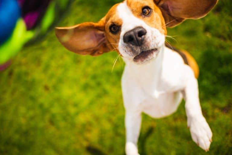 Beagle Resisting Over Head Harness