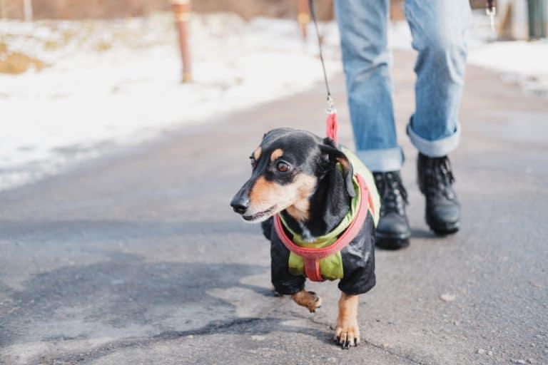 Dog on Harness
