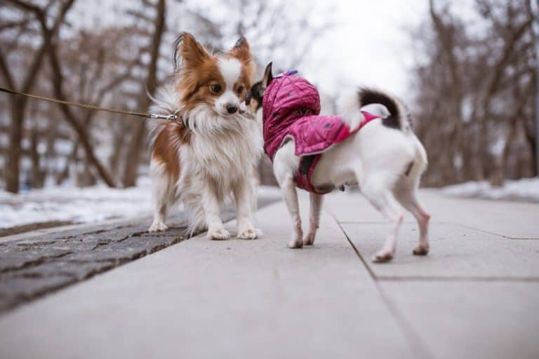 Dog on Harness and Collar