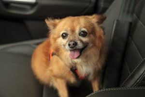 Dog with Harness in a Car