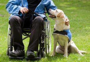 Labrador Guide Dog - Service Dog