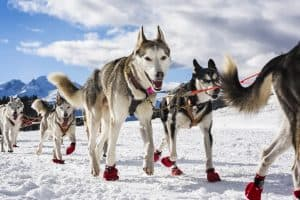 Sledge Dog in Winter Speed Racing with Snow Boots