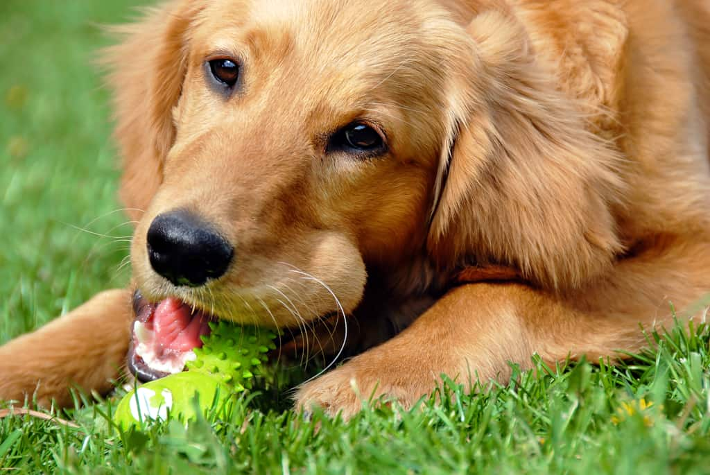 Golden Retriever Puppy with a Chew Toy