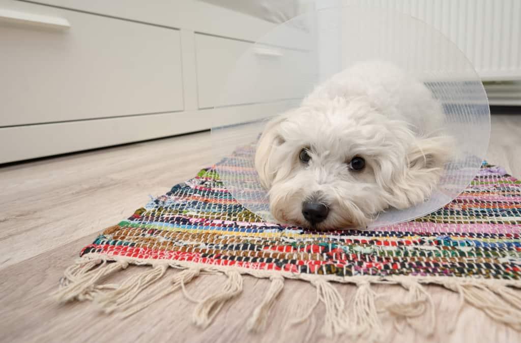 Dog Elizabethan Collar