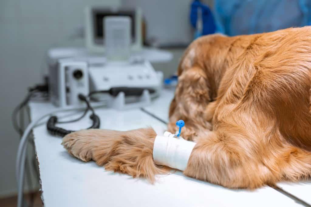 Injured Dog Paw