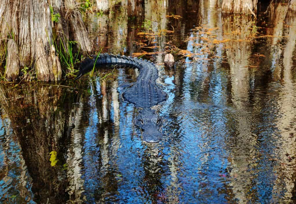 An Approaching Alligator