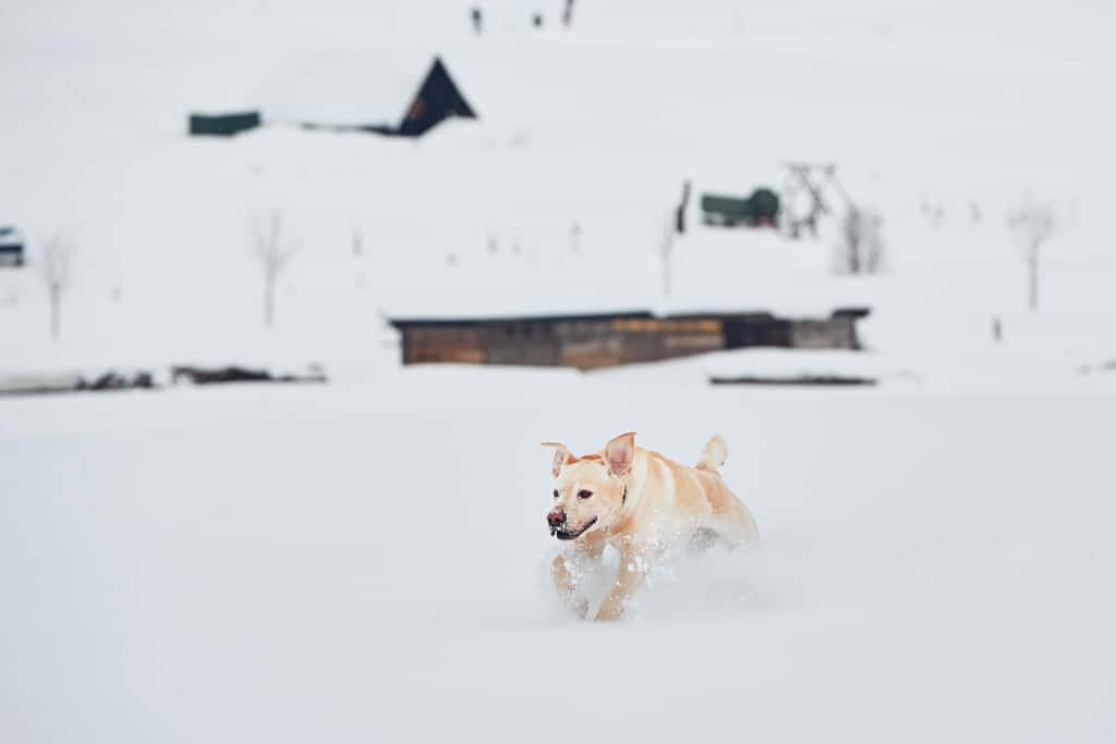 A dog is running in the snow