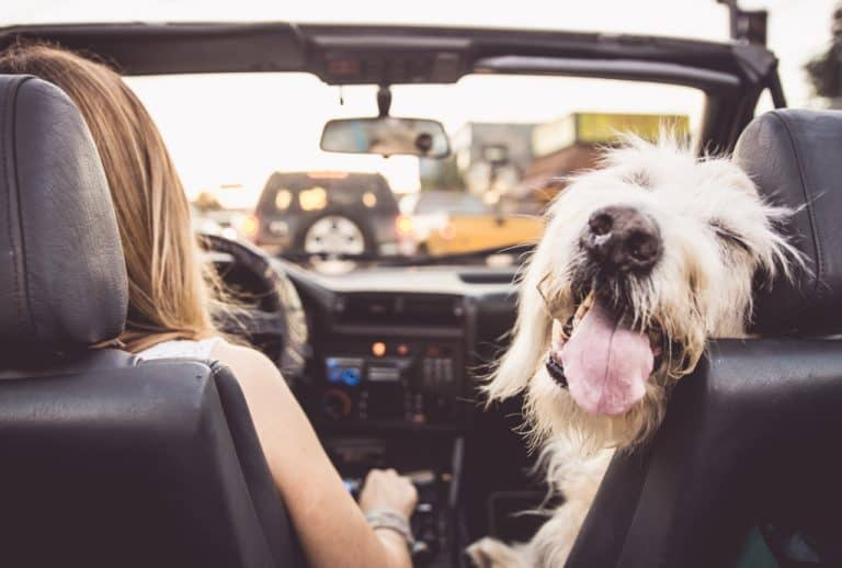 Dog Car Sick