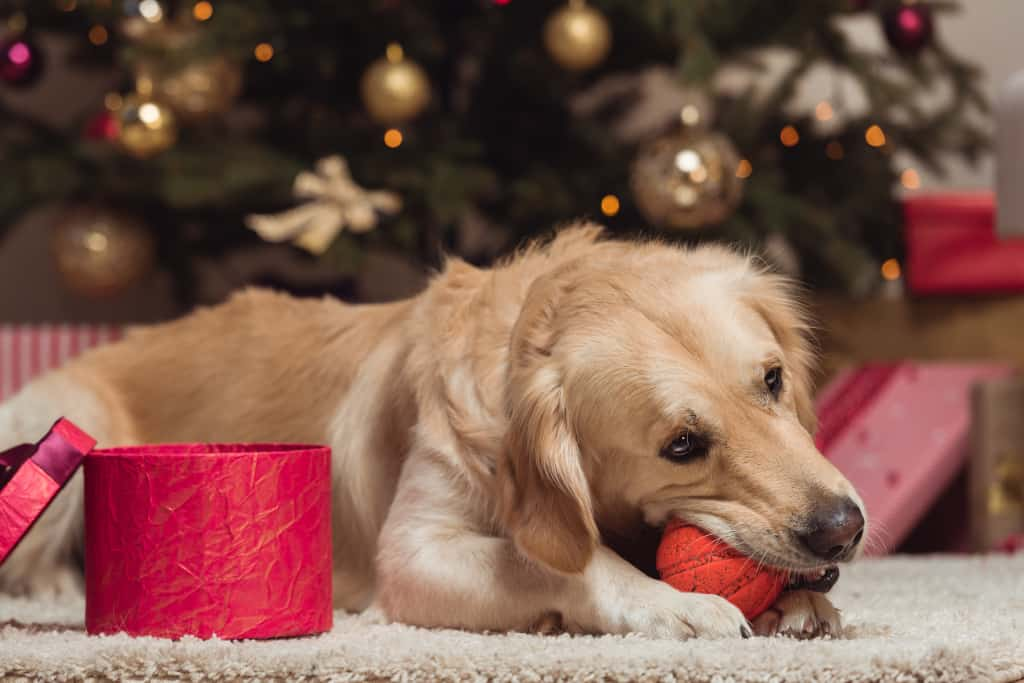 Dog is Playing Its Toy Indoor during Winter