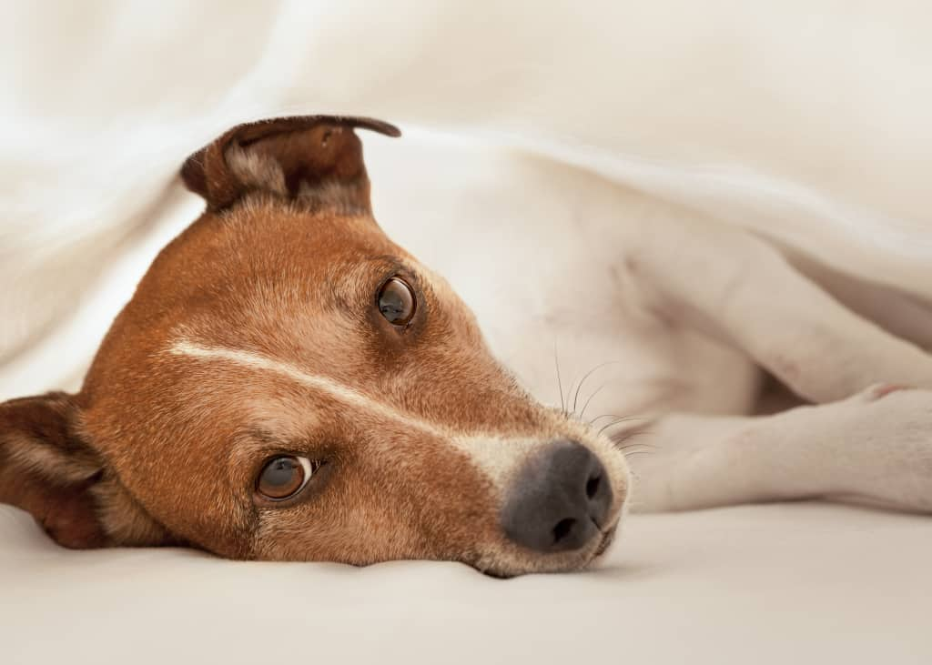 Why Dogs Won't Sleep at Night