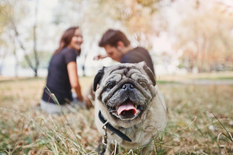 A Pug is Playing in the Park with a Couple