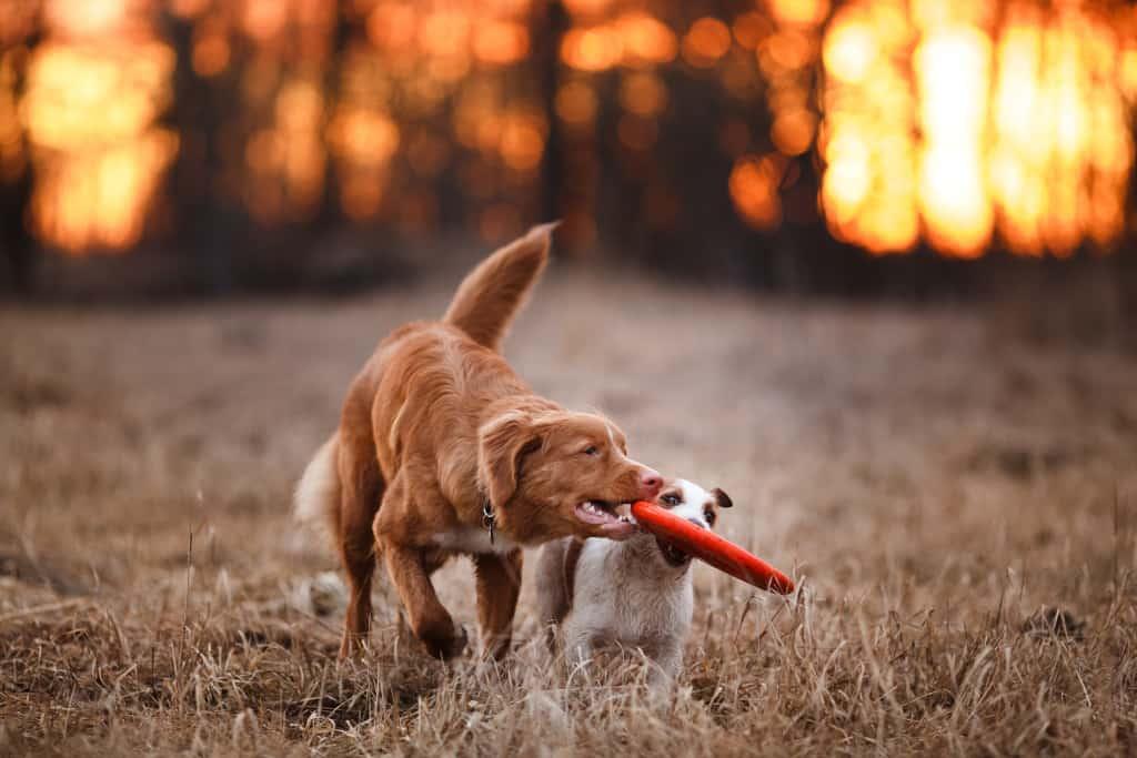 Dog Toy Snatching