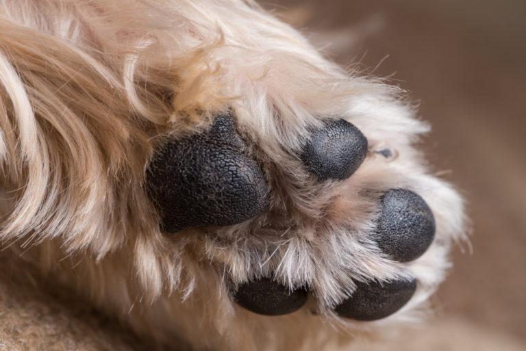 Healthy Dog Paw