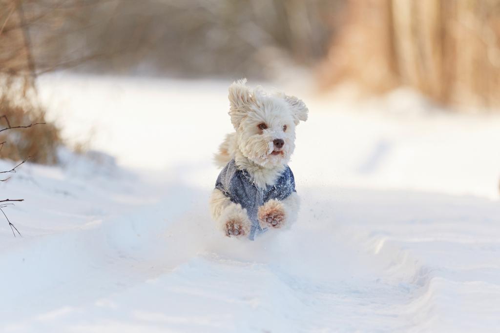 Havanese Dog on Winter Jacket
